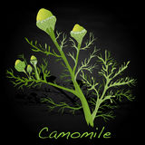 Camomile illustration vector Royalty Free Stock Photo