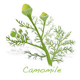 Camomile illustration vector Stock Photo