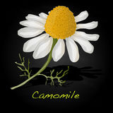 Camomile illustration vector Stock Image