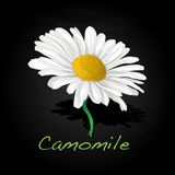 Camomile illustration vector Stock Images