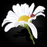 Camomile illustration vector Royalty Free Stock Images