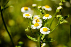 Camomile and insect Stock Photos