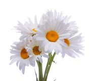 Camomile , isolated. Bouquet of a camomile flowers, on a white background is isolated Stock Photo