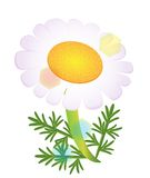 A  camomile isolated Stock Photography