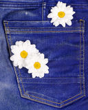 Camomile in jeans pocket Royalty Free Stock Images