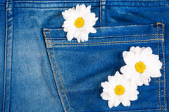 Camomile in jeans pocket Royalty Free Stock Photography