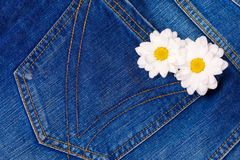 Camomile in jeans pocket Royalty Free Stock Photo