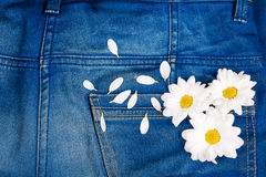 Camomile in jeans pocket Royalty Free Stock Image
