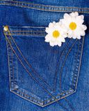 Camomile in jeans pocket Stock Image
