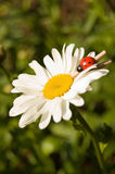 Camomile with a ladybird Royalty Free Stock Image