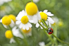 Camomile and ladybug Royalty Free Stock Photography