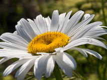 Camomile Stock Photography