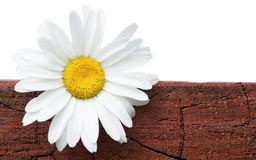 Camomile on a log. Royalty Free Stock Photography