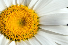 Camomile, macro shot Royalty Free Stock Images