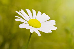 Camomile macro view Royalty Free Stock Photos