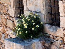 Camomile Or Matricaria Chamomilla. Growing on stone wall in Crete Greece stock photos