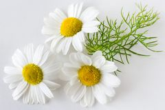 Camomile matricaria chamomilla - health care and medical treat. Ment - white flowers on the white background stock image