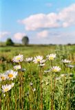 Camomile meadow 1. White daisies in the meadow Royalty Free Stock Images
