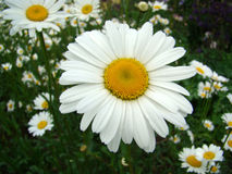 Camomile on a meadow Stock Image