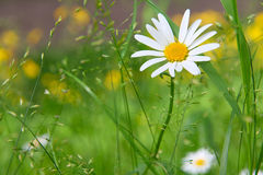 Camomile meadow Royalty Free Stock Photos