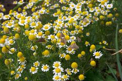 Camomile meadow. Herb camomile Royalty Free Stock Images