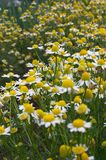 Camomile meadow. Herb camomile Stock Image