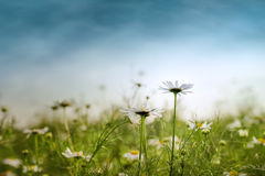 Camomile Meadow Stock Images