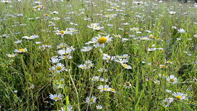 Camomile meadow, summer nature diversity, Stock Photos
