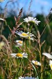 Camomile meadow Stock Photo