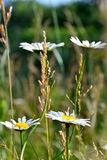 Camomile meadow Royalty Free Stock Image