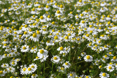 Camomile medicinal. (Chamomilla recutita, Matricaria chamomilla L., Chamomilla recutita Rauschert). It is widely used as medical means against fevers Royalty Free Stock Photos