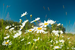 Camomile on natural background Royalty Free Stock Photography