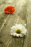 Camomile on old wooden Royalty Free Stock Photos