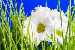 Camomile On A Grass Stock Photos