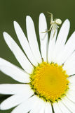 Camomile, ox-eye daisy white. Flower and spider stock photography