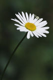 Camomile, ox-eye daisy white flower. And spider royalty free stock photos