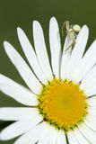 Camomile, ox-eye daisy white flower. And spider royalty free stock photo