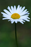 Camomile, ox-eye daisy white flower. Shot royalty free stock photos