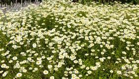 Camomile (ox-eyed daisy) Stock Photos