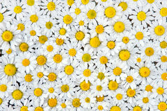 Camomile pattern Royalty Free Stock Images