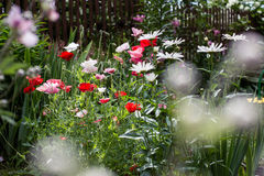 Camomile and red poppies Royalty Free Stock Image