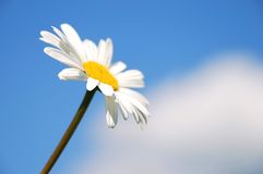 Camomile and sky. Camomile on the background from sky and clouds Stock Photo