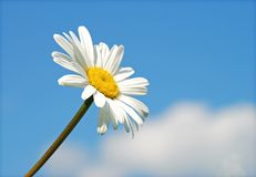 Camomile and sky Stock Images