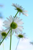 Camomile in sky Stock Images