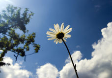 Camomile on sky background Stock Photos