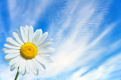 Camomile on the sky background Royalty Free Stock Images