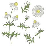 Camomile with stem and leaves hand drawing on a white background. Stock Image