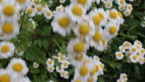 Camomile storm. The camomile was taken in a small Bulgarian farm stock footage