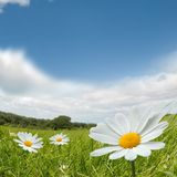 Camomile Summer Landscape Royalty Free Stock Image