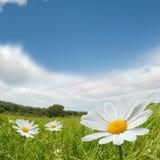 Camomile Summer Landscape Royalty Free Stock Image